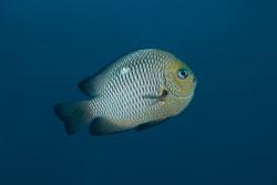 BD-121125-Aqaba-6690-Dascyllus-trimaculatus-(Rüppell.-1829)-[Threespot-dascyllus.-Treprickig-frökenfisk].jpg